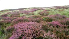 Grug y Mynydd ar Fynydd Hiraethog - Tudur Aled Davies.