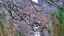 Coeden Magnolia wedi cychwyn blaguro yn Llanrwst - Sion Jones.