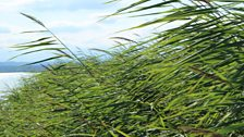 Reeds on the Neusiedler See