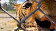 The rise in caged tigers