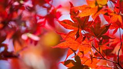 Scott Joplin: Maple Leaf Rag