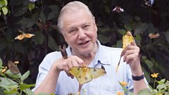 What is Sir David Attenborough's favourite butterfly?