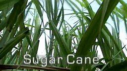sugar cane by grace nichols