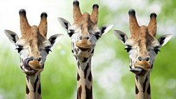 The secret of giraffes' long legs