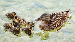 """Like a duck to water """"如鱼得水""""的英文表达"""