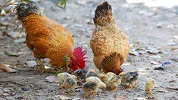 "Chicken words ""鸡""词""鸡""语"