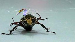 Cyborg beetle and the teenage brain 半机械甲虫,青少年脑部发育