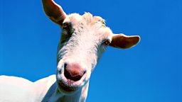 Get somebody's goat