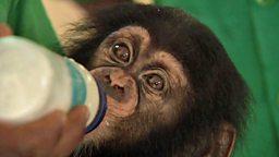 Rescued chimp, Professor's viral fame 黑猩猩幼崽重获新生、意外成名的教授家庭
