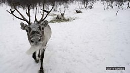 Eating reindeer, shark attacks 阿拉斯加驯鹿成珍馐、鲨鱼袭击事件影响留尼旺旅游业