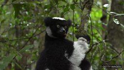 Sapphires v lemurs, cow emissions 蓝宝石开采威胁狐猴的生存、帮助奶牛减少甲烷排放量