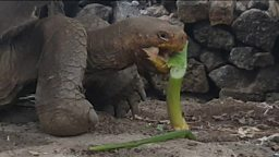 "Extinct giant tortoise returns 已灭绝的巨型陆龟""起死回生""了"