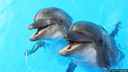 "Scientists study dolphins' 'happiness' 科学家研究圈养海豚的""幸福度"""
