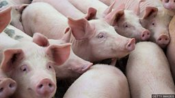"Scientist create gene-edited pigs 英科学家用基因编辑造""抗病猪"""