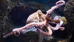 How intelligent is the octopus?