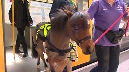 Meet Britain's first trainee guide pony 来看看英国第一匹实习导盲马