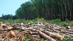 High level of deforestation continues 大规模森林砍伐活动仍在继续