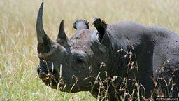 Rhinos taken back to Rwanda 送犀牛回卢旺达