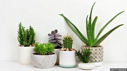 Houseplants: Good or bad? 在家里养盆栽好不好?