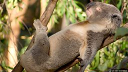 Cool koalas 萌酷的考拉
