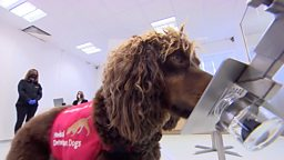 The dogs sniffing out coronavirus 英国训练新冠肺炎检测犬