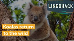Koalas return to the wild