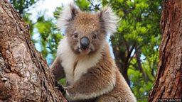 Koalas return to the wild 澳大利亚林火获救考拉重归自然