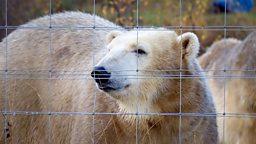 Polar bear moves house! 北极熊搬家