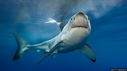 Hunting for the missing great white sharks 搜寻失踪的大白鲨