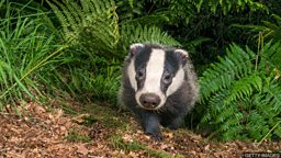 Badger intruder 毛茸茸的不速之客