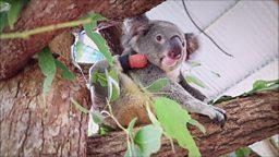 The dentist helping a koala to walk 牙医为一只考拉制作义肢