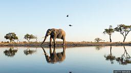 Africa's endangered elephants 非洲象被列为濒危物种