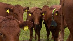 """App-controlled cows help protect dunes """"遥控牛"""" 保护沙丘生态平衡"""