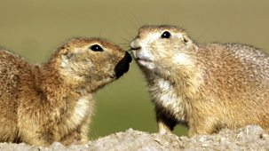 Natural World - 2009-2010: 11. Prairie Dogs - Talk Of The Town