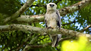 Natural World - 2010-2011: 1. The Monkey-eating Eagle Of The Orinoco