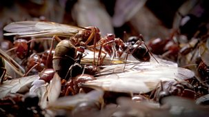 Natural World - 2011-2012: 2. Empire Of The Desert Ants