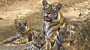 Natural World - 2012-2013: 3. Queen Of Tigers: Natural World Special