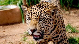 Natural World - 2012-2013: 6. Jaguars - Born Free: Natural World Special