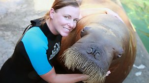 Natural World - 2013-2014 - Walrus: Two Tonne Tusker