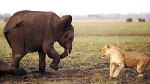 Natural World - 2014-2015 - Africa's Giant Killers