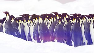 The Wonder Of Animals - Penguins