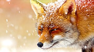 The Wonder Of Animals - Foxes