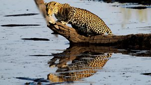 Natural World - 2015-2016: 1. Africa's Fishing Leopards