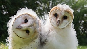 Natural World - 2015-2016: 2. Super Powered Owls