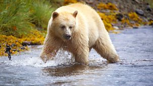 Natural World - 2015-2016: 9. Ghost Bear Family