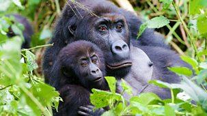 Gorilla Family & Me - Episode 1