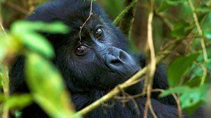 Gorilla Family & Me - Episode 2