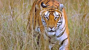 Natural World - 2007-2008: 4. Tiger Kill