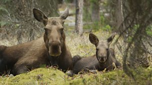 Natural World - 2016-2017: 3. Meet The Moose Family
