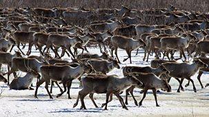 Nature's Epic Journeys - 2. Caribou